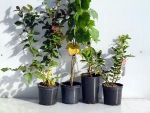 sadzonki borówki